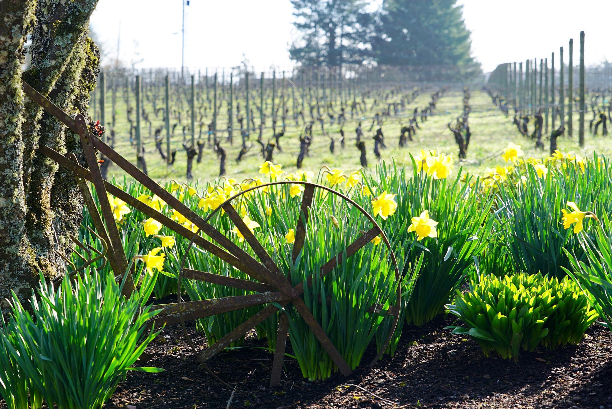 Daffodils in vineyard